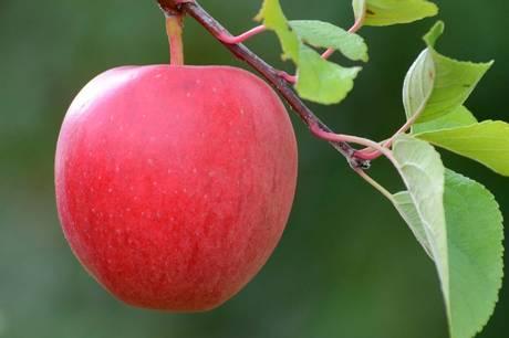 Fra 16.-23. oktober står Ebeltoft i æblernes tegn. Pressefoto
