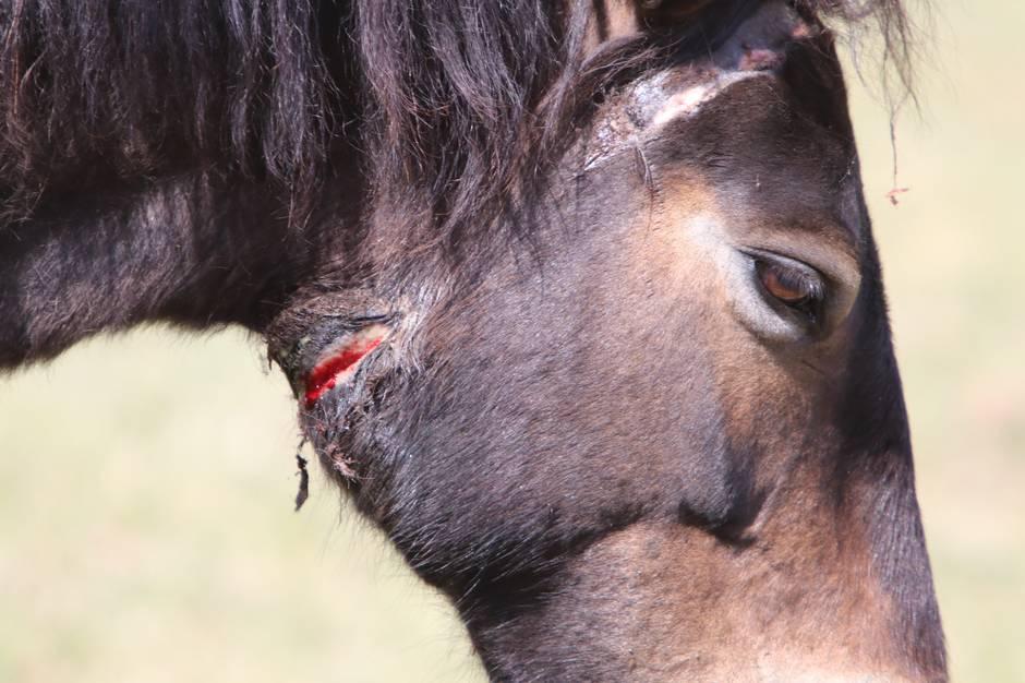 Exmoor-hoppen folede fredag og mandag valgte Mols Laboratoriets folk at bedøve hoppen og fjerne et GPS-halsbånd, der havde skavet hul på hestens hals. Foto: Øxenholt Foto