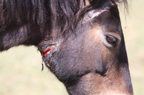 Hest på Molslaboratoriet, der ligger på den sydlige del af Djursland, blev bedøvet og fik taget gps-halsbånd af. Da dyrlæge fjernede det, kunne man se åbne sår.