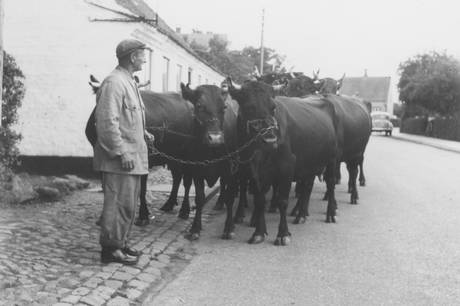 I dag er det en anden slags køer, man ser på gader og veje i Ebeltoft! Men engang var det ikke usædvanligt, at byens bønder trak deres køer gennem gaderne på vej ud eller hjem fra græsning. Her ses en af de sidste landmænd i byen med sine køer. Foto: Ebeltoft Byhistoriske Arkiv
