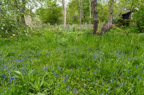 Lad hækken, ukrudtet og græsset gro – nu skal haverne være vilde. Men er det pænt og praktisk? Og batter det noget i klimaregnskabet? Vi ser nærmere på fænomenet vilde haver.