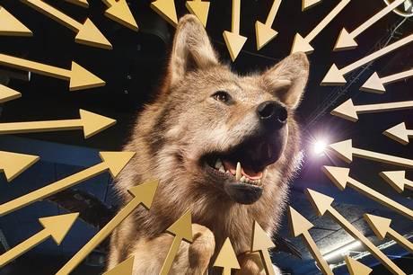 Naturhistorisk Museum sætter fokus på ulven i ny særudstilling. Prfoto