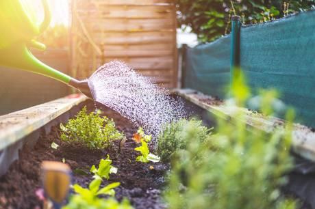 Efter blot 5 dage uden regn, er det nødvendigt at vande haven om sommeren. Læs, hvilke planter der især har behov for vand, og hvordan du vander dem.