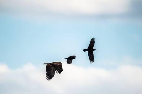 Sommerskovning i en plantage ved Skive har kostet to ørneunger livet. Sagen er meldt til politiet og Miljøstyrelsen, oplyser Dansk Ornitologisk Forening.