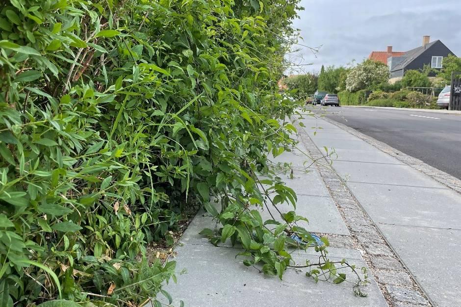 Hækken ud til vejen skal klippes, inden den hænger ud over fortovet. Ellers er det til gene for alle forbipasserende og kan være farligt for trafiksikkerheden. Det får flere kommuner til at tage affære. De klipper hækken og sender regningen til grundejeren.