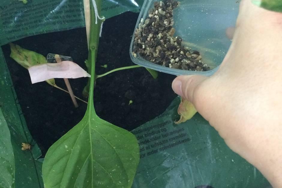 Suger bladlus saften ud af dine planter? Det er der heldigvis råd for. Læs og se, hvordan du bekæmper bladlus uden at sprøjte planterne.