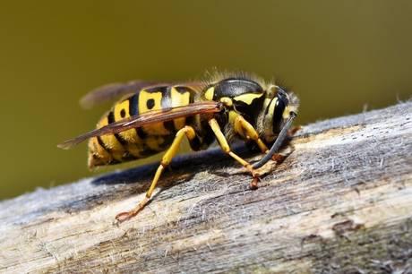 Hvis den danske sommervarme i år fortsætter som hidtil, kommer vi højst sandsynligt til at døje med langt flere hvepse end sidste sommer, mener ekspert - her er en række gode råd.
