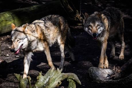 Mindst tre ulvehvalpe er kommet til verden i Klelund Plantage i Hovborg i Jylland. Det er tredje ulvekuld i Danmark i nyere tid.