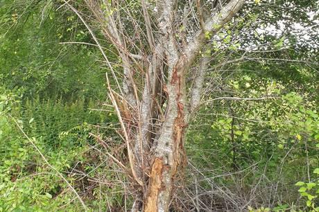 Ny borgerhenvendelse angående voldsom beskæring af træer