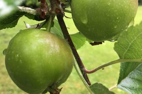 Æblet er et af efterårets helt store glæder, og i efterårsferiens første weekend skal den velsmagende frugt fejres på Det Grønne Museum sammen med DR og Frank Erichsen.