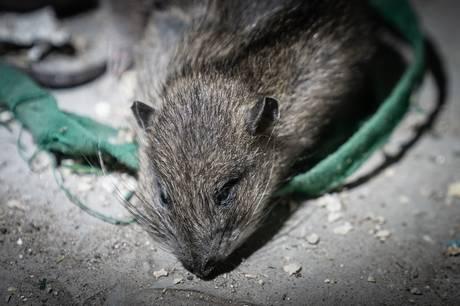 Flere beboere på kollegiet i det nordlige Aarhus har bekræftet historierne om rotter i gården og på gangene. Specielt én historie har sat sig i beboerne.