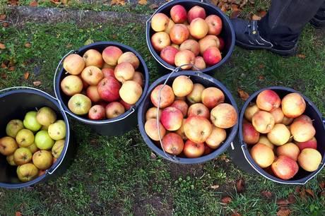 Pres æbler til most, når der er æbledag på bibliotekerne. Pressefoto